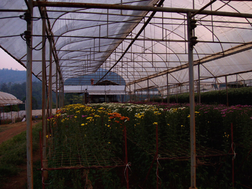 昔日的罂粟地,如今变成了鲜花棚
