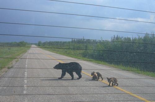 去保留地途中看见横穿马路的熊